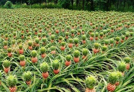 Чем полезен свежий ананас 1