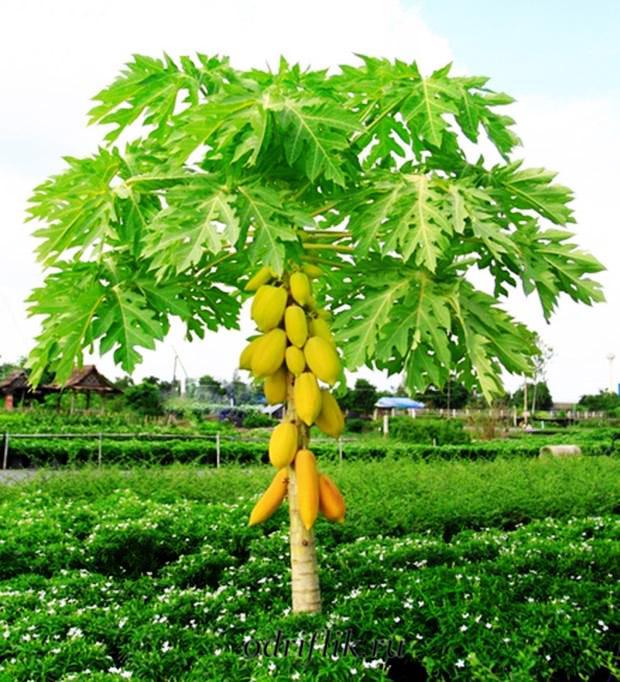 Чем полезна папайя для женщин 1